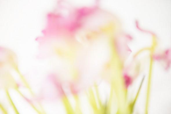 Tulpen_7724